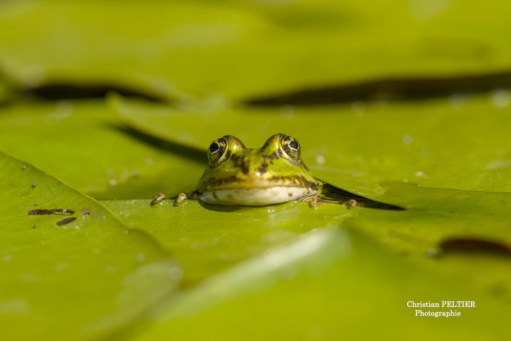 photo d'une grenouille verte